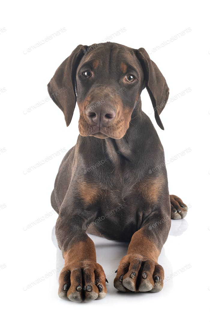puppy doberman pinscher in studio