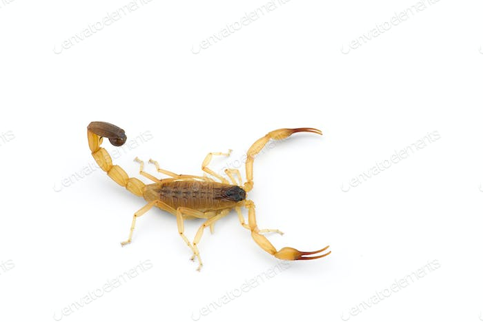 Yellow deadly dangerous scorpion top view isolated on white background