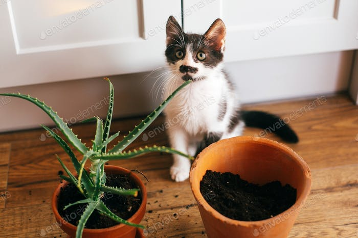 Kitty with innocent eyes sitting at flipped pot and aloe vera indoors