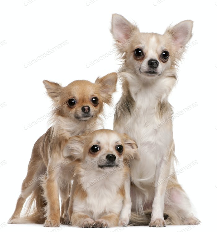 Chihuahua (9 months old), Chihuahua (2 years old), Chihuahua (10 months old)