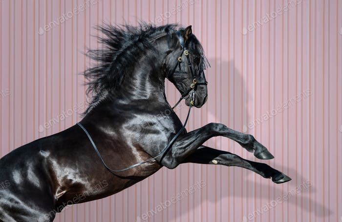 Black Pura Spanish Horse rearing on striped background.
