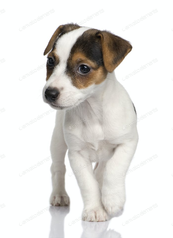 puppy Jack russell (8 weeks)