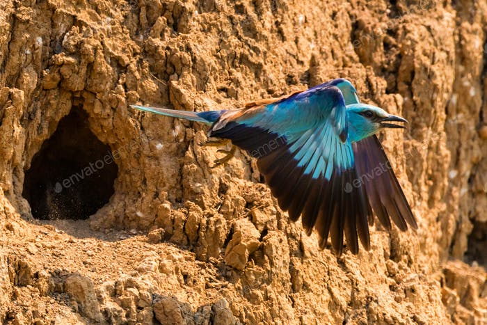 European roller or Coracias garrulus flies
