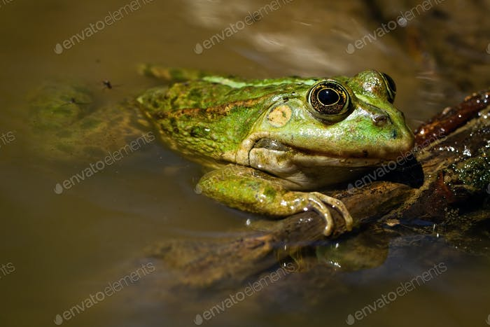 Adorable edible frog lying on swamp in the summertime