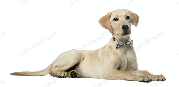Labrador lying down and wearing a bow, isolated on white