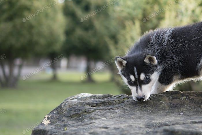 siberian husky sits