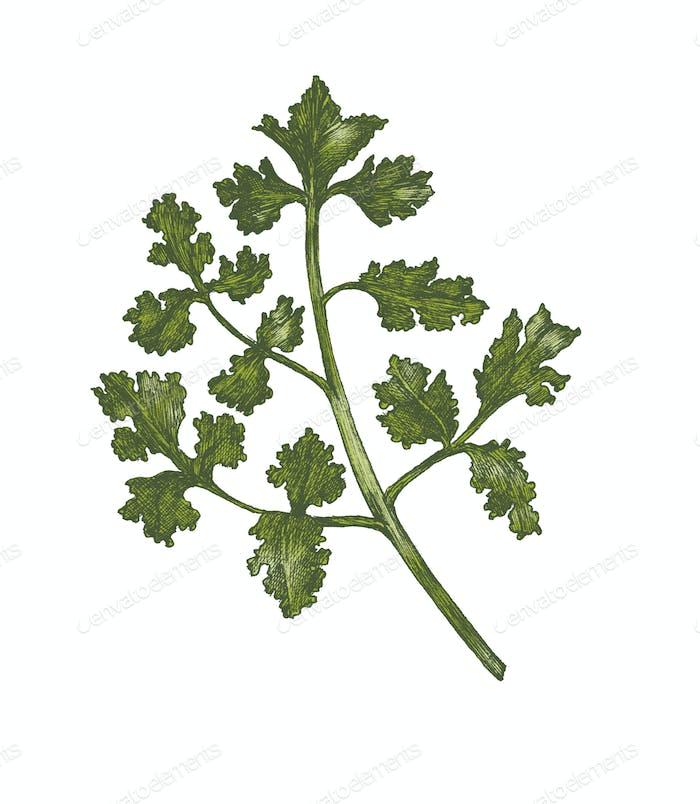 Hand-drawn fresh coriander isolated