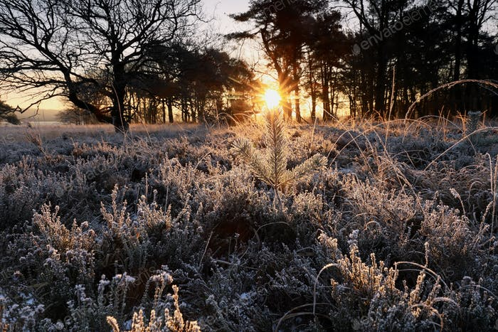 winter sunrise over frosted pine tree