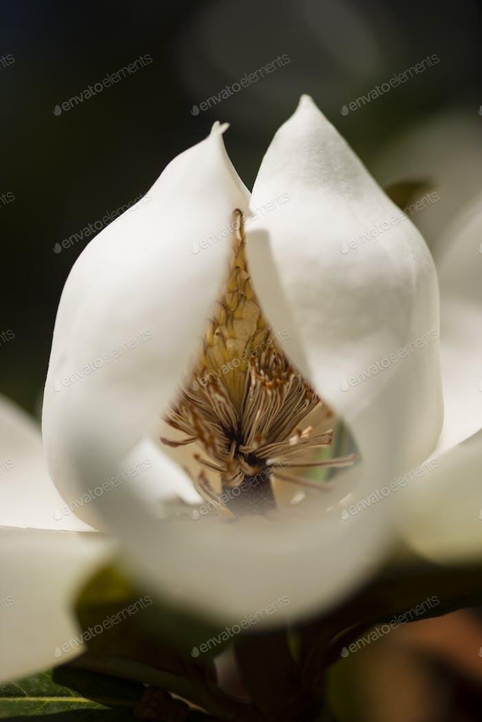 Detail der südlichen Magnolie Blume.