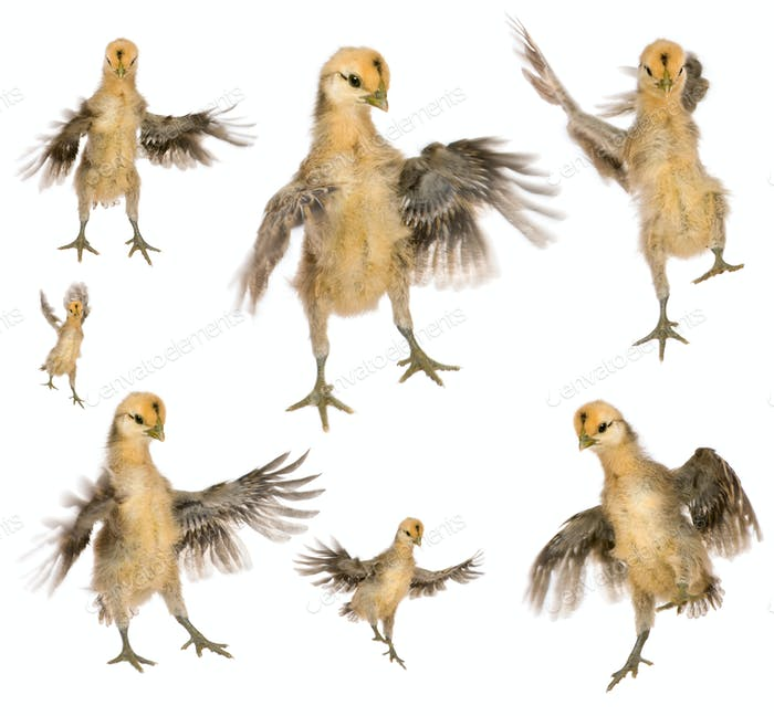 Collection of chicks trying to fly in front of white background