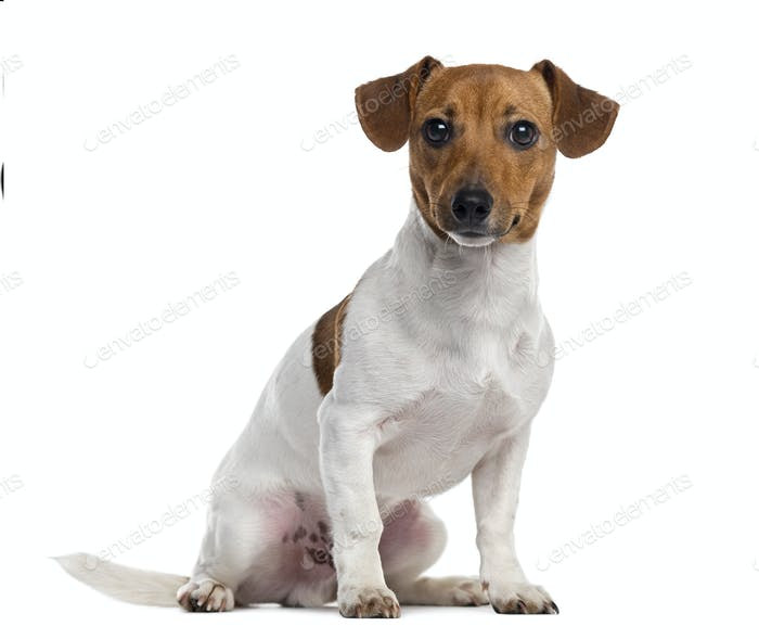 Jack Russell Terrier puppy isolated on white