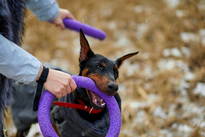 Woman spend time with beautiful dog doberman outdoors