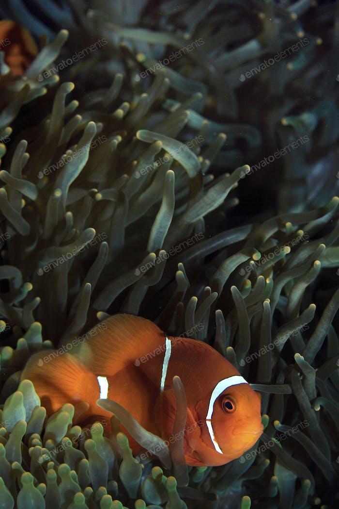 Spine-cheek anemonefish and anemone underwater.