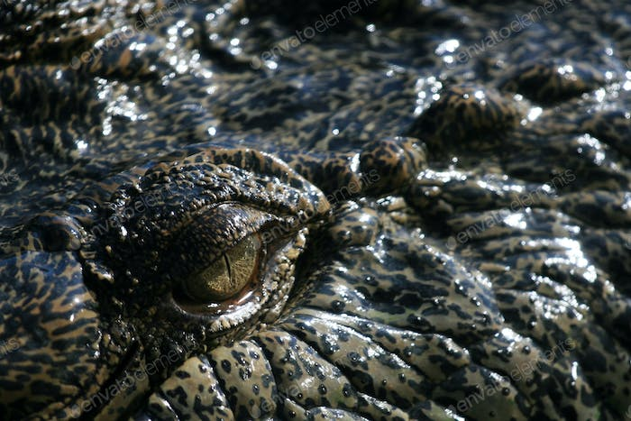 Crocodille Eye