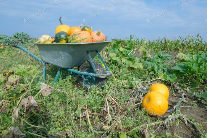 Different kind of pumpkins in wheelbarrow