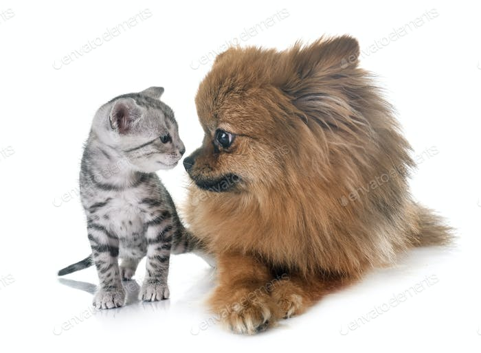 bengal kitten and pomeranian