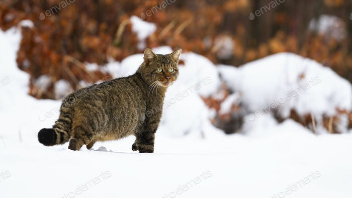 Staring european wild cat with fluffy tail on the wintry hunt