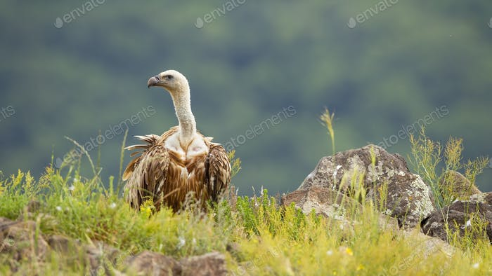 Griffon vulture sitting on the ground with green grass in summer nature