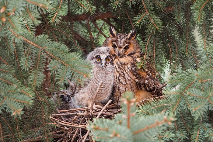 Adult and juvenile long-eared owl sitting on a nest close together
