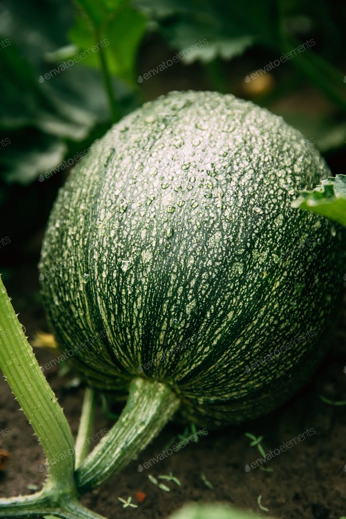 Close Up Of Ripe Green Zucchini Or Courgette In Summer Garden. S
