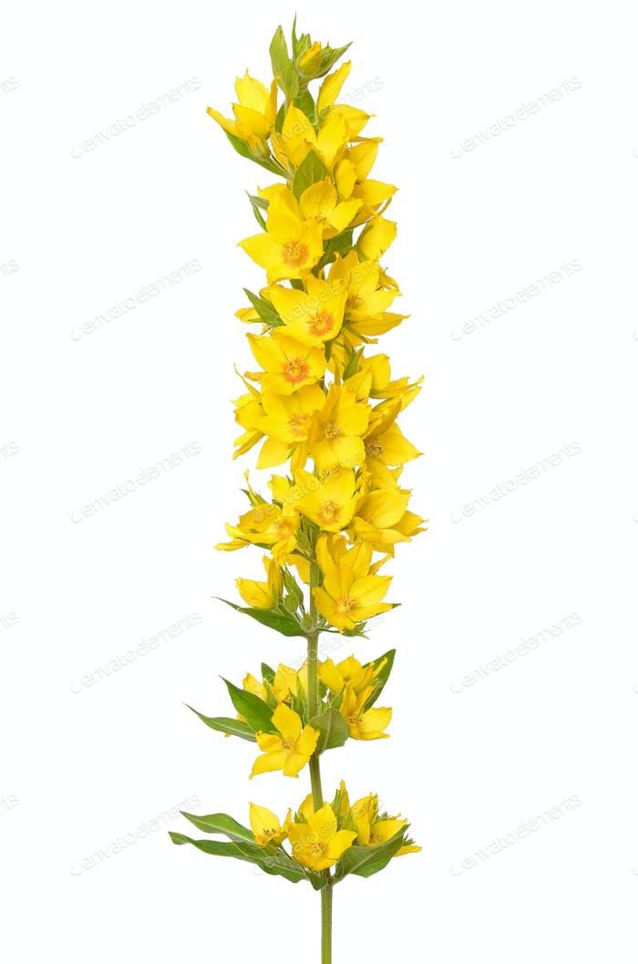Lysimachia vulgaris flower