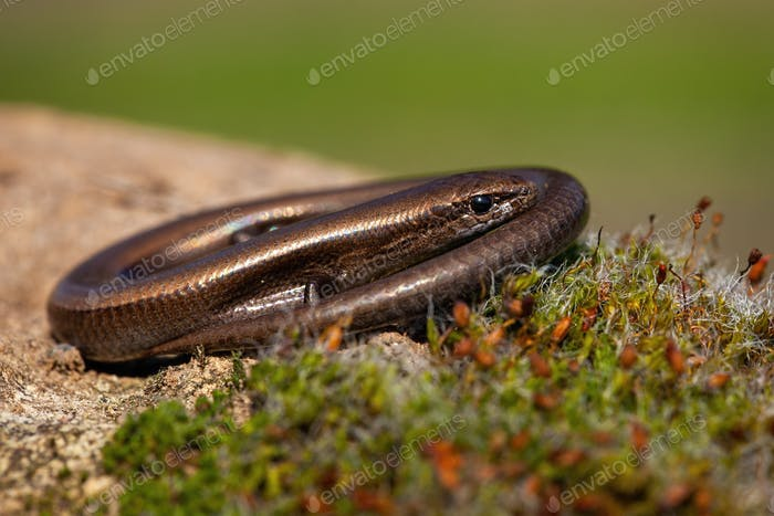 Twisted European copper skink, ablepharus kitaibeli, hiding in nature