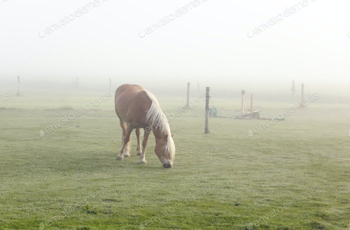 horse grazing on pasture in fog