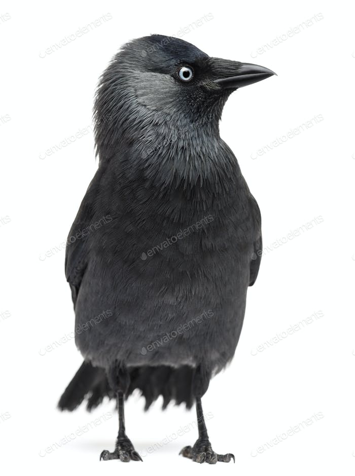 Western Jackdaw Corvus monedula, (or Eurasian, or European or simply )