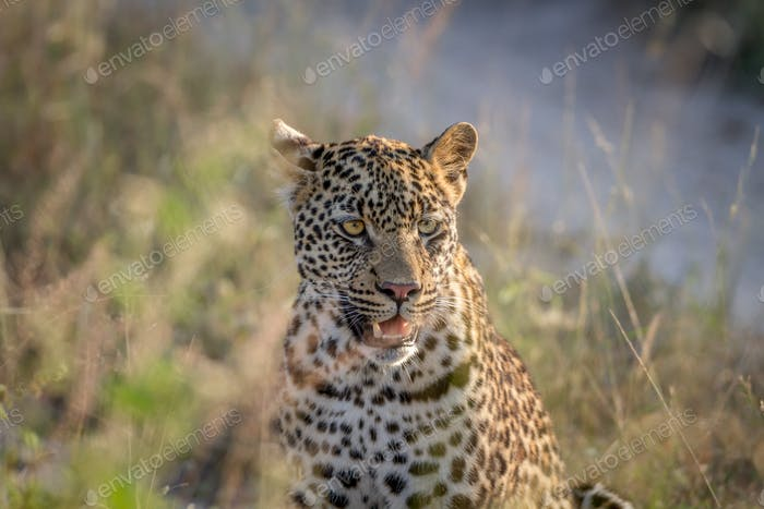 Leopard standing in the high grass.