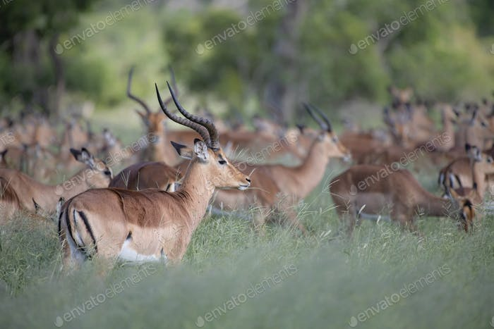 A herd of impala, Aepyceros melampus, stand and graze in long green grass