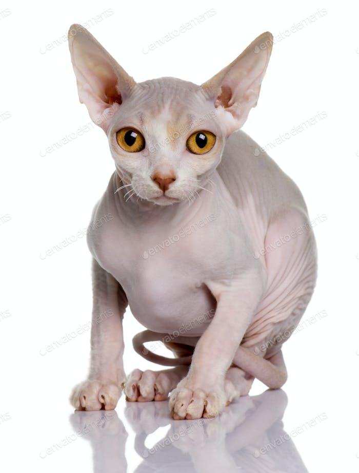 Sphynx kitten (5 months old)