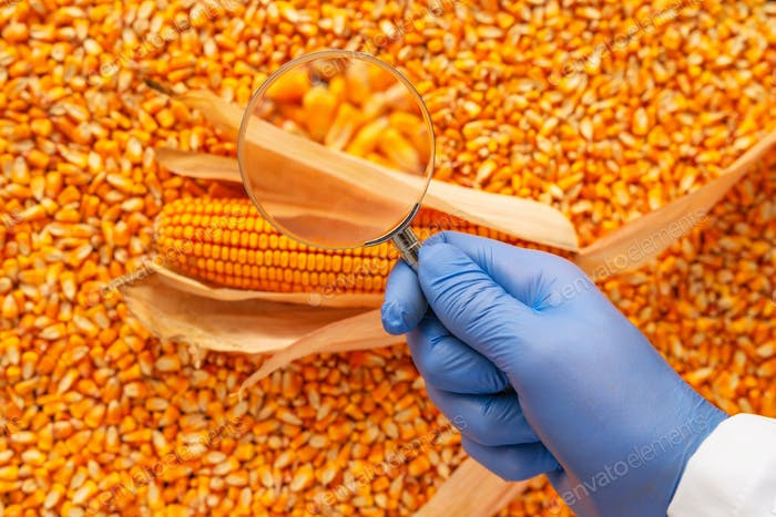 Scientist examining quality of harvested corn seed kernels