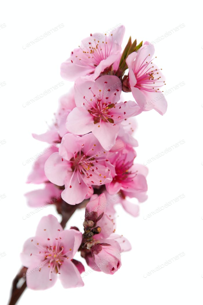 Flowering branch of peach