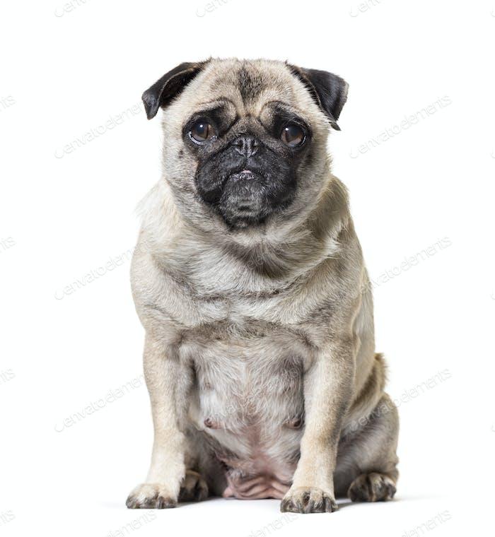 Old Pug dog sitting against white background