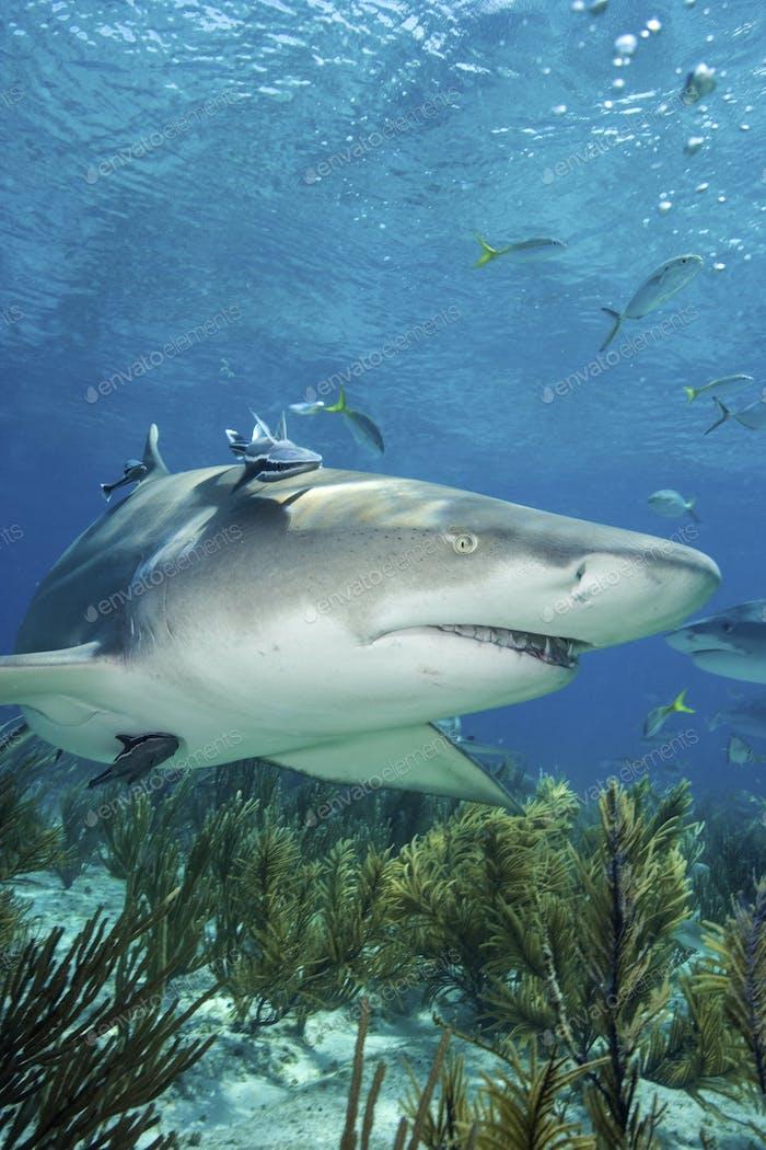 Lemon shark, Negaprion brevirostris.  Photographed off of West End, Grand Bahama, Bahamas