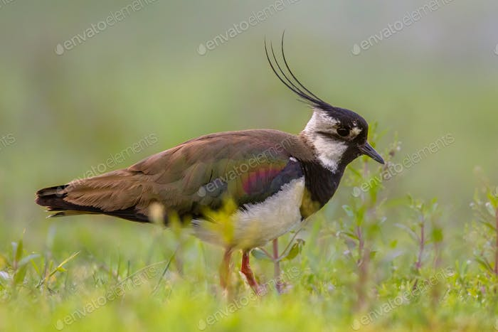 Male Northern lapwing in marshland habitat with fresh green back