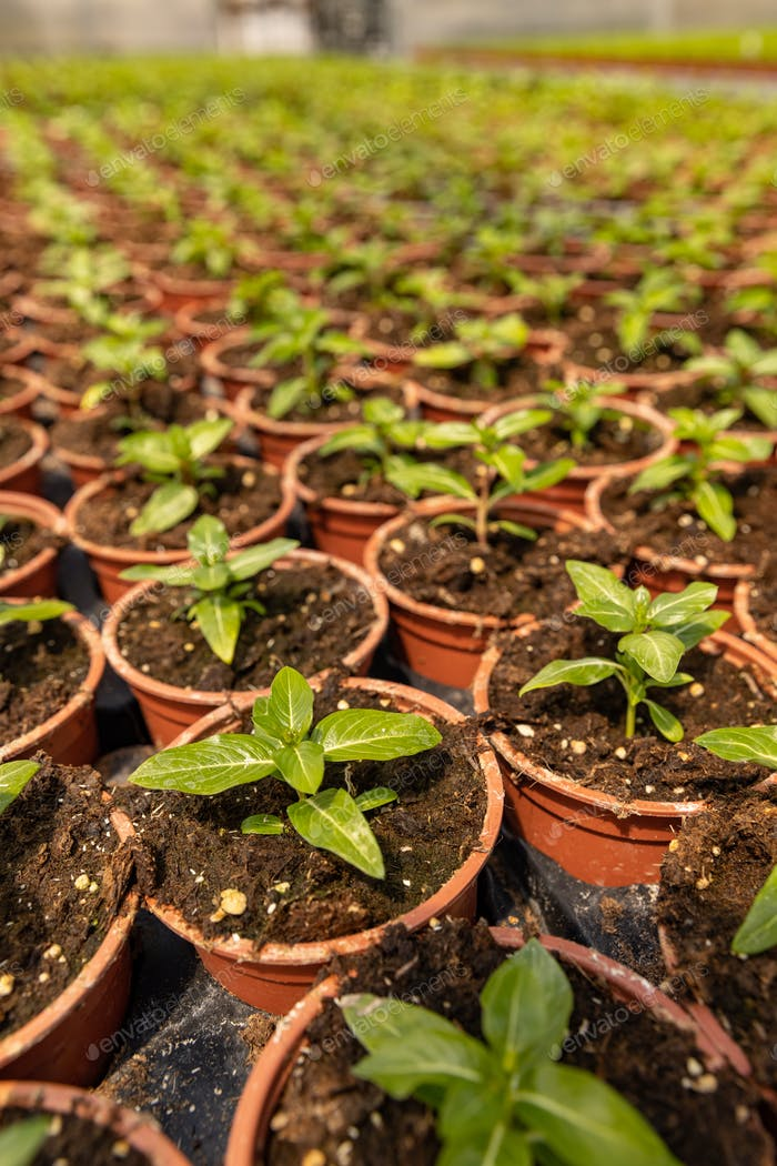 Young plants growing in plant nursery