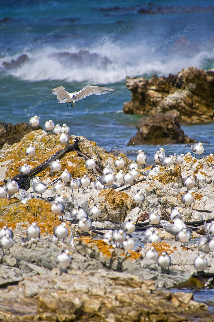 Greater Crested Tern, Walker Bay Nature Reserve, South Africa