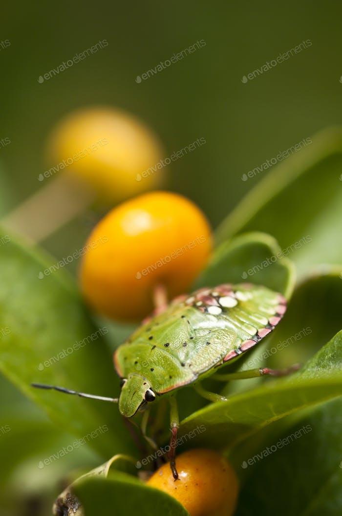 Green Shield Bug with Orange Berry