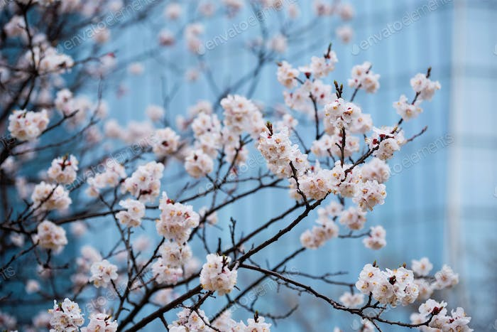 Blooming sakura flowers close up