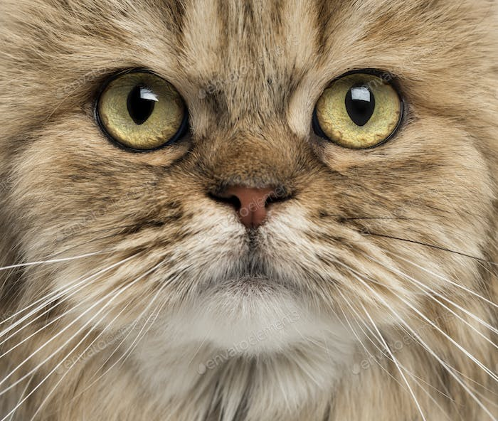 Close-up of a British Longhair