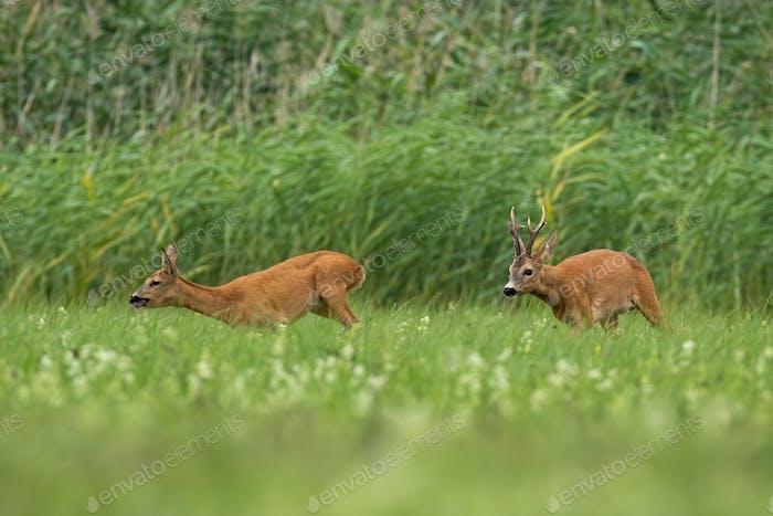 Two roe deer running on field in rutting season