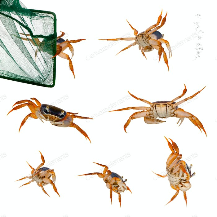 Patriot crabs, Cardisoma armatum, and net in front of white background