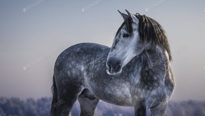 Horizontal portrait of gray Spanish horse with winter evening skies.