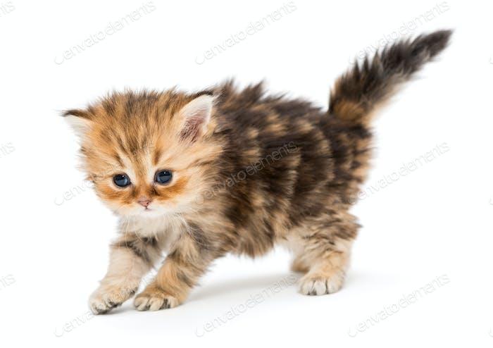 Small striped kitten breed British marble