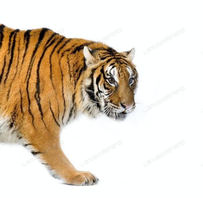 Tiger wandern