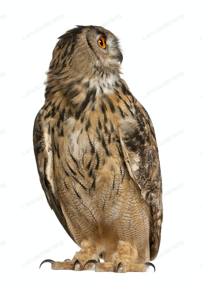 Eurasian Eagle-Owl, Bubo bubo, a species of eagle owl, standing in front of white background