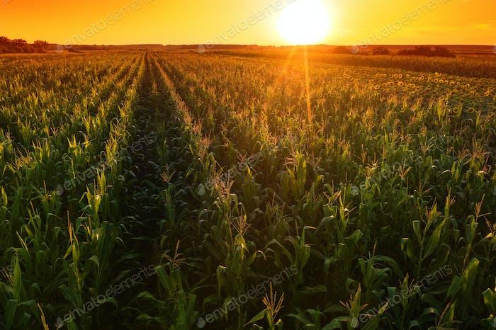 Hermoso campo de maíz en la puesta de sol, imágenes de Zumbido tiro aéreo