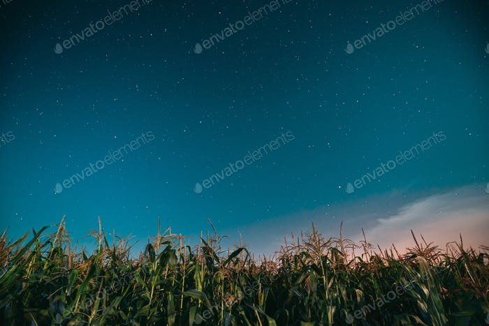 Night Starry Sky Above Green Maize Corn Field Plantation In Summer Agricultural Season. Night Stars