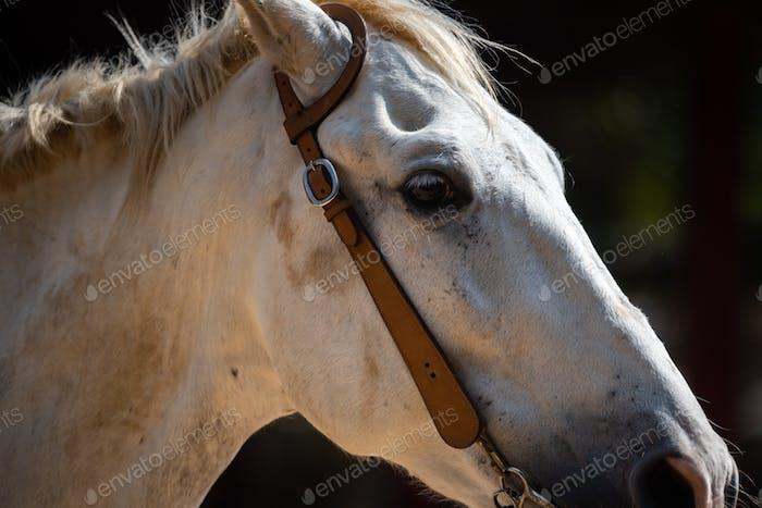 closeup Pferdekopf braune Augen Porträt, Säugetier mit stabilem Leben auf dem Bauernhof